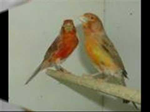 kanarya sesi kanarya kuşlar kanaryacilar