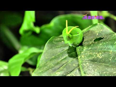 《昆蟲捉迷藏》【柑橘樹上的居民:無尾鳳蝶】 - YouTube【客語發音】