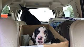 Tiny Great Dane Puppy Goes On His First Road Trip With His New Family