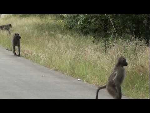 Paviane im Krügerpark Südafrika