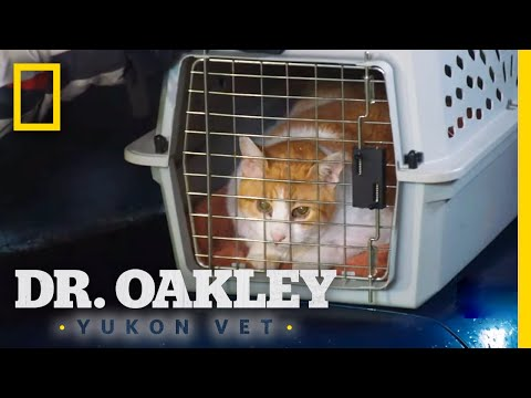 Treating a Coughing Cat | Dr. Oakley, Yukon Vet