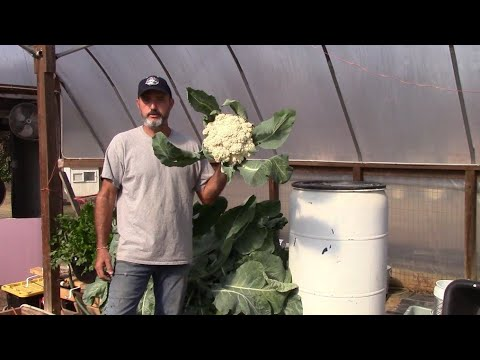 Huge Monster Cauliflower with Dutch Bucket Hydroponics