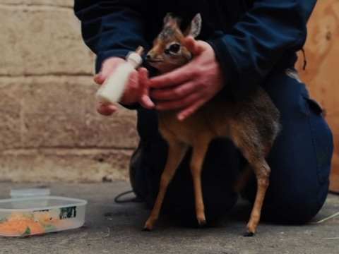 Raw: UK Zoo Cares For Orphan Baby Antelope