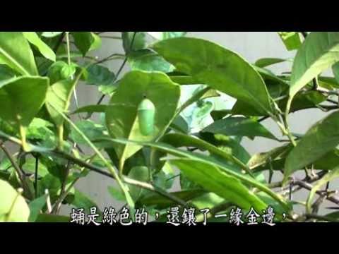 自然生命印象短片徵選  樺斑蝶在我家  張倚寧 - YouTube