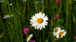Summer Meadow Flowers With Beautiful Cricket And Bird Sound