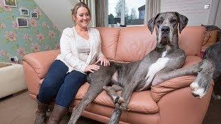 Englands größter Hund