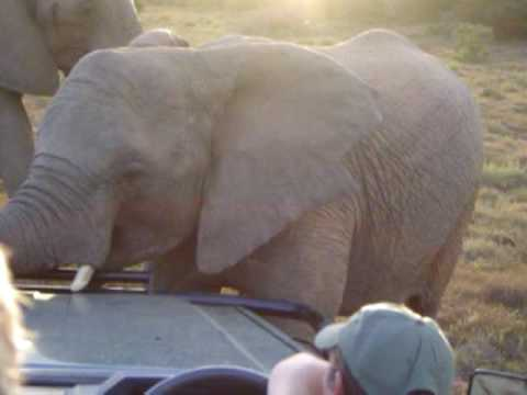 Elephants attack our car!!