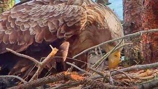 A Mother's Love: Doing Everything to Protect the Eaglets