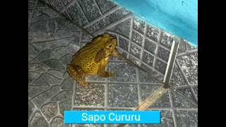 Mundo animal : Sapo cururu.