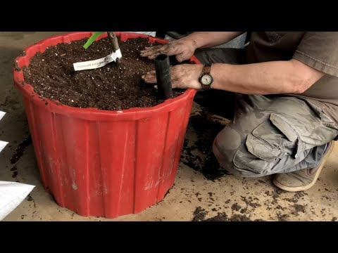 🍎GROWING FRUIT TREES IN CONTAINERS 🌲PLANTING 🍊
