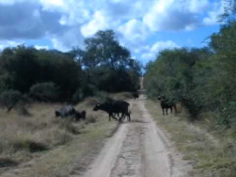 Buffalos, Sabi Sabi Private Game Reserve, next to Kruger National Park in South Africa