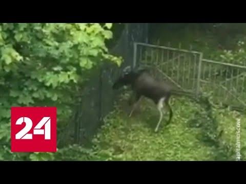 Природа в Москве настолько очистилась, что в нее вернулись лоси