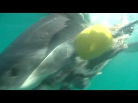 Great White Shark – Biting Sharks Gansbaai 2009 cage diving