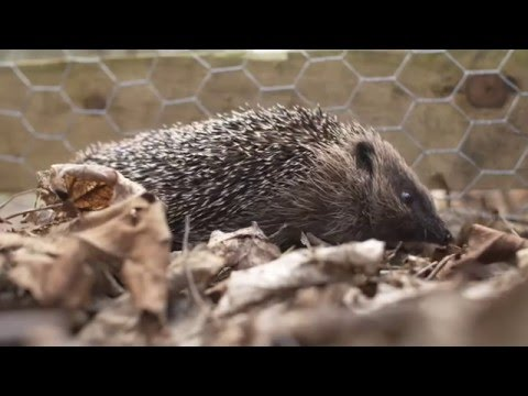 Peanut the hedgehog discovers her new home at Woburn Forest | Center Parcs