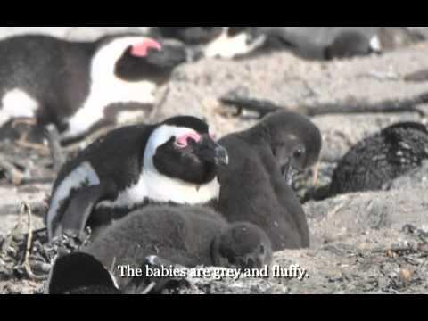 African Penguins-Mobile.m4v