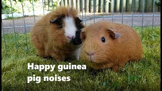 Guinea pigs making happy noises while eating - Gingerandchutney