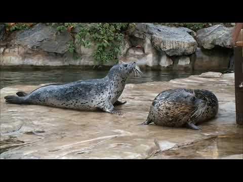 Video ze spojování tuleňů - první setkání Sally, Aymy a Caspera