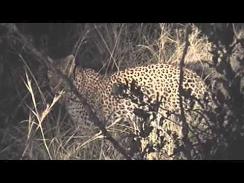 Badass Leopard