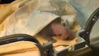 baby panda 1 week old