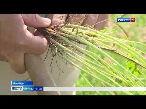 Бобовая трава может легко набить кошельки оренбургских фермеров