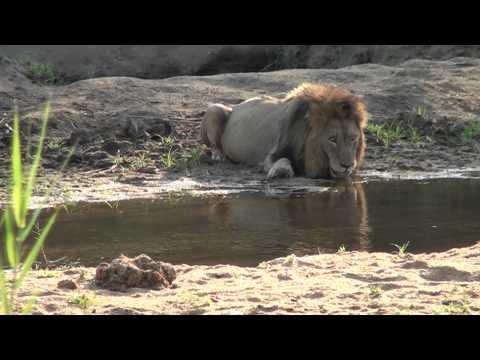 "Lion drinking water ""Royale Marlothi"""