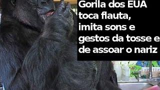 Gorila toca flauta, imita sons e gestos da tosse e de assoar o nariz