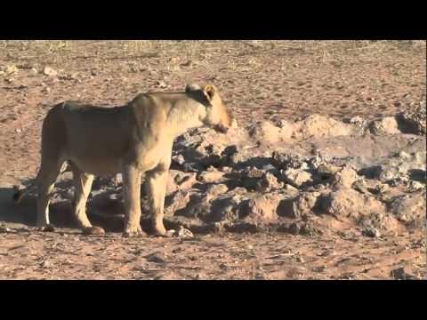 South Africa Kalahari II Kgalagadi Park
