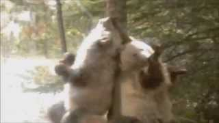 BEARS scratching on trees DUBSTEP