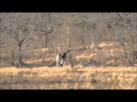 African Safari – Journey of Giraffe