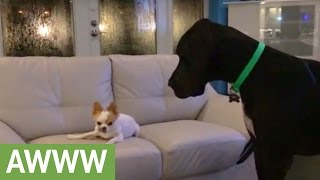 Chihuahua refuses to share treat with Great Dane