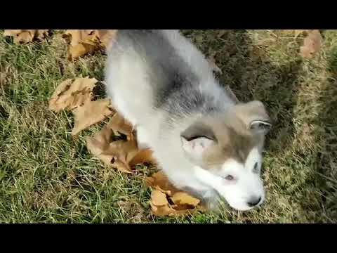 Donner Alaskan Malamute Puppy For Sale Near St Louis Missouri D924b0b0 Bd61