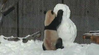 Panda ganha boneco de neve de Natal e se diverte em Toronto