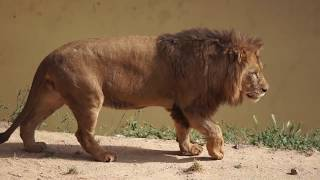 Transporte de Leão-africano (Panthera Leo)