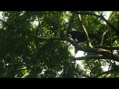 Howler monkeys at Charco Verde, Isla Ometepe, Nicaragua