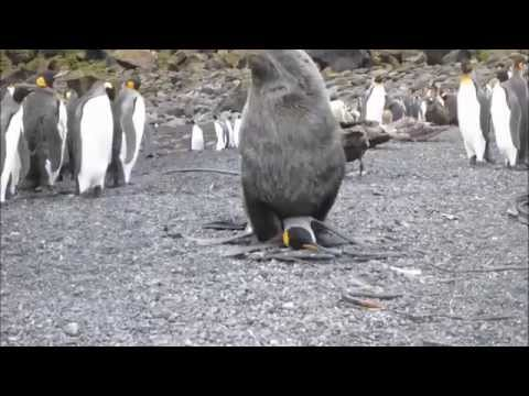 domashnee-pingvini-ebutsya-foto