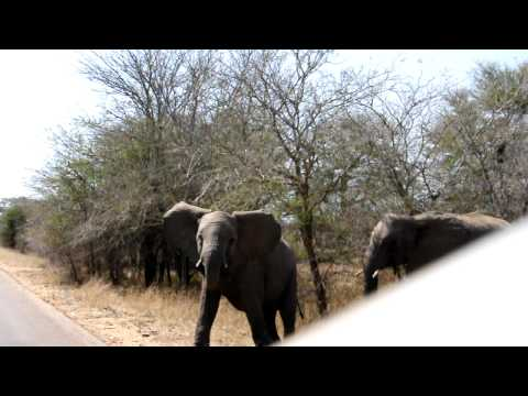 Elephant Crossing the road Kruger South Africa