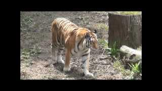 Tiger Walk Cycle