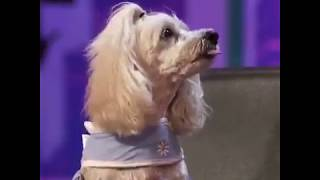 So much talent in one small dog.!! AGT!!  GOT TALENT!