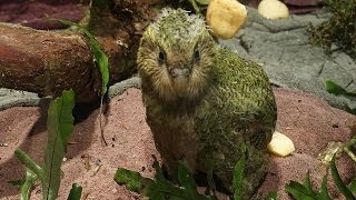 Kakapo Chicks Day Out - Arrowtown, New Zealand
