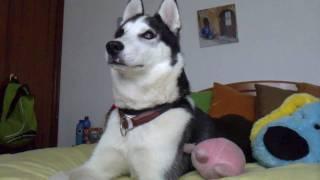 Husky siberiano aullando - Willy/ Siberian husky howling- Willy