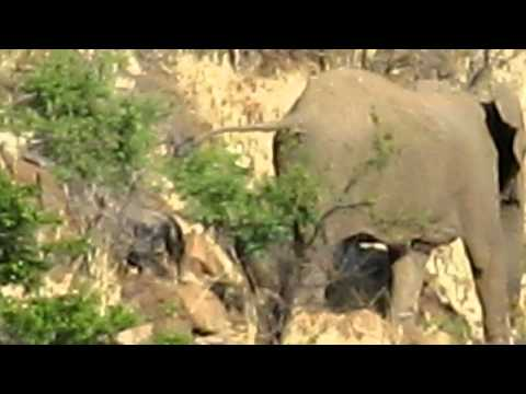 Pilanesberg South Africa 4 day old elephant