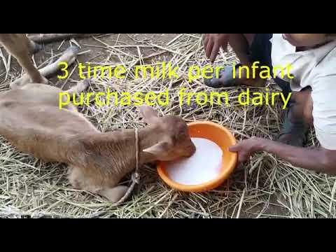 Housed 500 cattle in Mandya Gaushala