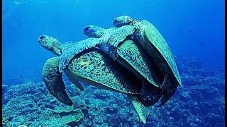 Plan à trois chez les tortues - ZAPPING SAUVAGE width=