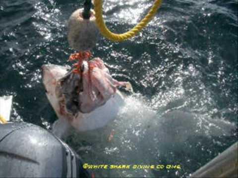 Shark Cage Diving Tours Gansbaai