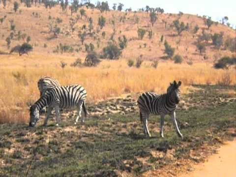Wildlife in the Pilanesberg National Park (Zebras). South Africa