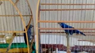 Azulão Fibra Pura