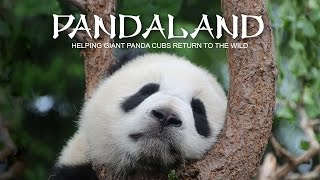Pandaland. Helping giant panda cubs return to the wild (Trailer) Premiere 28/4