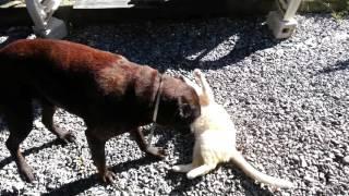 Cane Zeus che gioca con il gatto Romeo