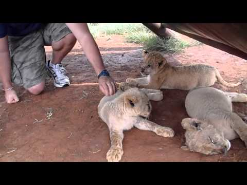 Playing with Baby Lions  South Africa