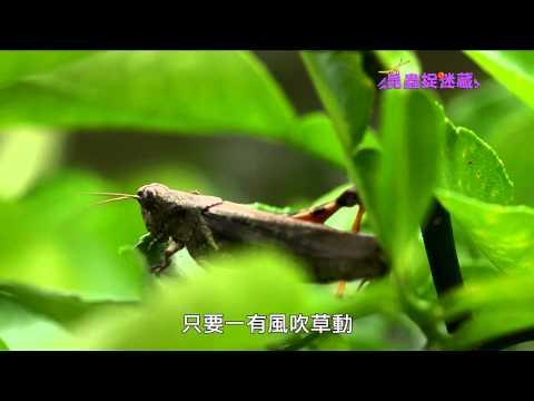 《昆蟲捉迷藏》身手矯健的自然樂手【直翅目昆蟲:螽蟴與蝗蟲】 - YouTube